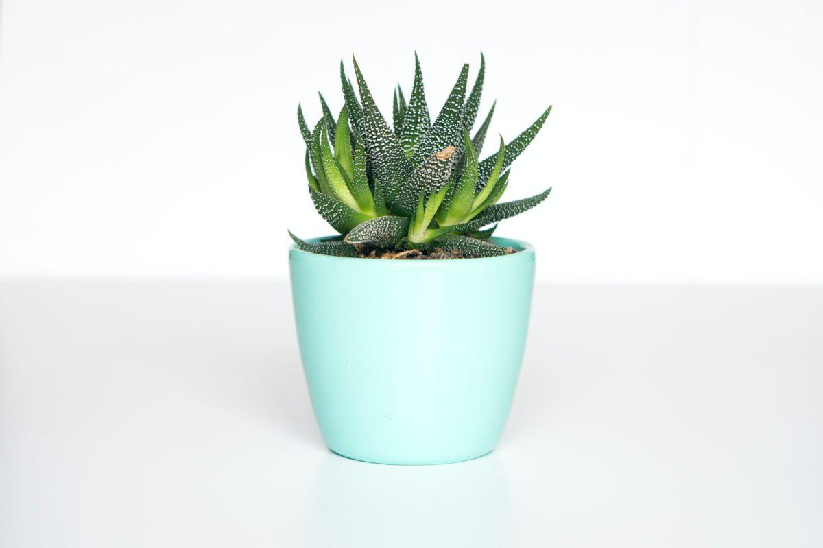 succlent in green pot